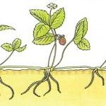 Cómo cultivar Fresas y Fresones