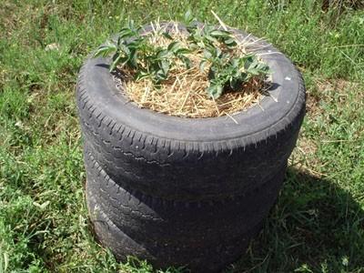 Aquí vemos cómo es un cultivo de patata en neumáticos. Fuente: infojardin.com