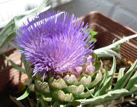 Aspecto de la flor de la alcachofa. Fuente: https://caprichodehoy.wordpress.com