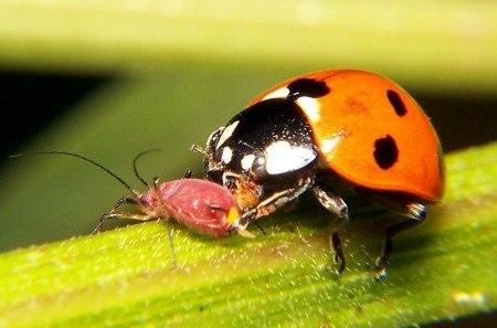 Las mariquitas son insectos fitófagos y se alimentan principalmente de pulgones. Fuente: http://infojardin.com