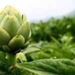 Cómo cultivar Alcachofas en el huerto