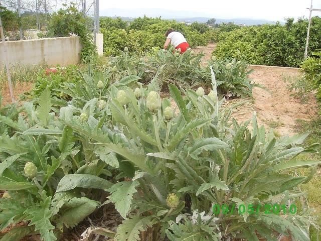 Cultivar alcachofas en el Huerto. Fuente: https://picasaweb.google.com/Nelet49/AlcachofaYSuCiclo