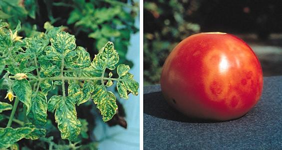 Tomato Mosaic Virus - TMV, Virus del Mosaico del Tomate- El mosaico es el dibujo que se presenta en la hojas a causa de la muerte celular producida por el virus. Fuente: www.lahuertadetoni.com