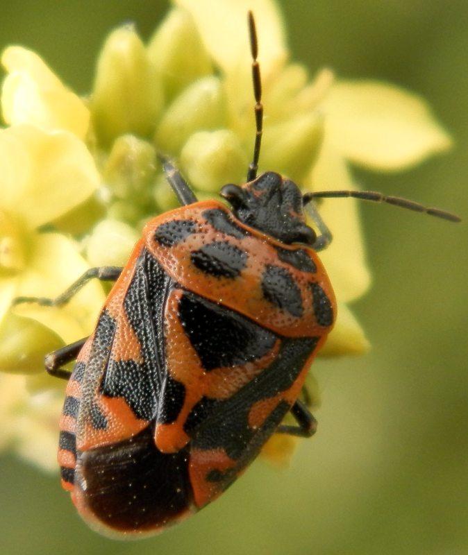 Euryderma ornata es un chinche fitófago que seguro que muchos habéis visto en el campo. Fuente: www.agacmes.com