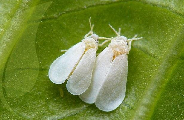 Moscas blancas adultas Fuente: www.altinco.com