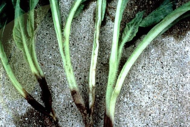 Podredumbre fúngica de cuello y raíz. Fuente: www.altinco.com