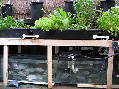 Sistema de acuaponía (Fuente: www.cherylmikel.com)
