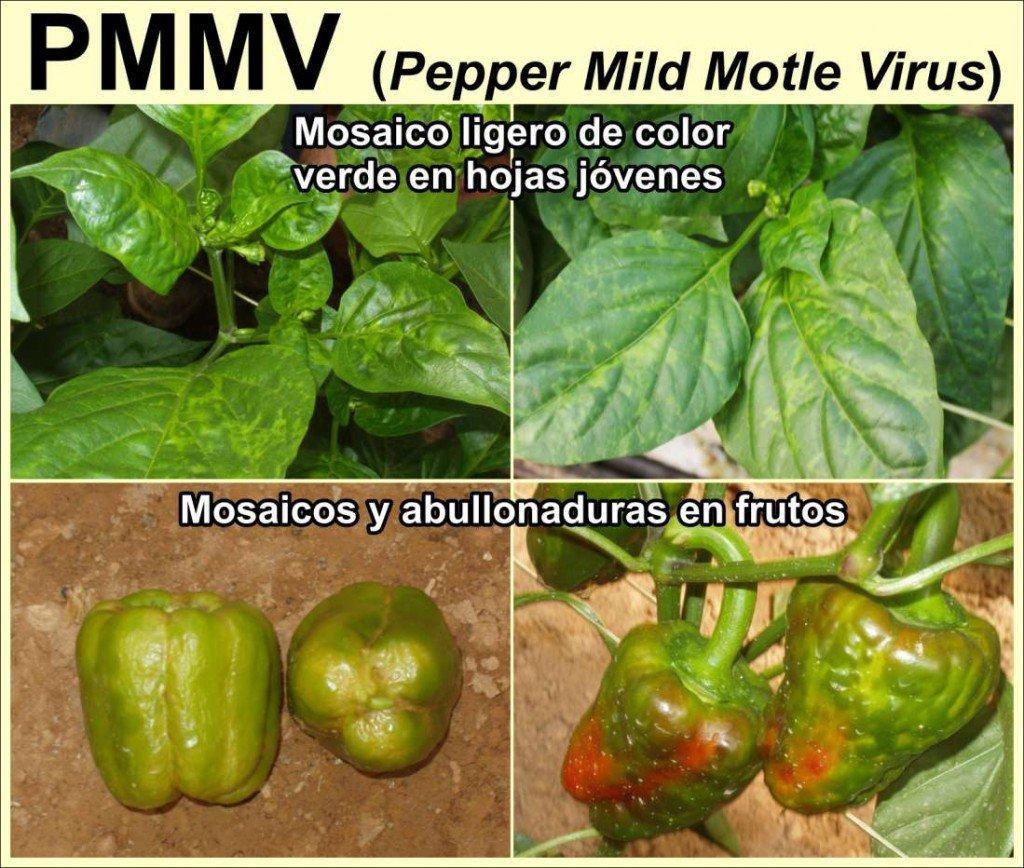 Virus PMMV (Fuente: www.elhocino-adra.blogspot.com)