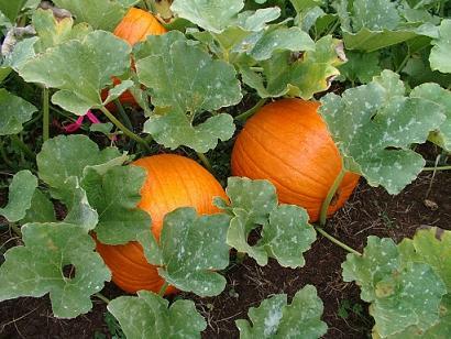 Calabazas listas para cosechar (Fuente: www.favear.com)