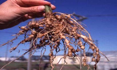Nódulos - bolitas en las raíces - de nematodos en tomate. Fuente: www.flordeplanta.com.ar