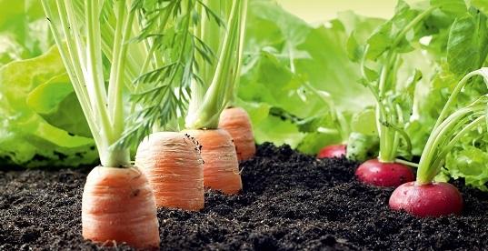 Son un cultivo bianual, buenas para cultivar durante todo el año. Fuente: www.leroymerlin.es