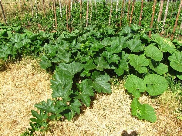 Planta de calabaza (Fuente: www.infojardin.com)