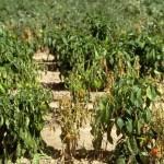 Mi planta se seca, ¿qué le pasa? Hojas secas : causas y soluciones