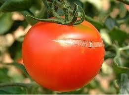 Asolado del tomate. Fuente: www.minihuertos.net