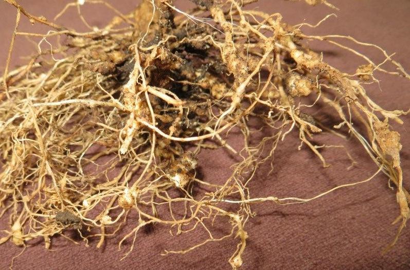 Nódulos de nematodos en raíces de pimiento (Fuente: www.soyagrochic.com)
