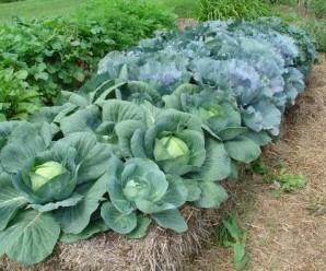 Se puede cultivar sobre balas de paja y el resultado es espectacular. Fuente: http://strawbalegardens.com/