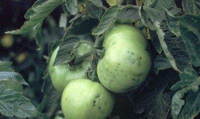 Pseudomonas syringae en tomate. Fuente: www.vegetablemdonline.ppath.cornell.edu