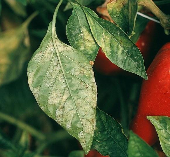 Oidiopsis (Leveillula taurica) en hojas de pimiento (Capsicum annuum). (Fuente: www.visualunlimited.photoshelter.com)