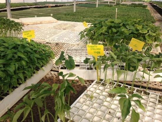 Hay una gran variedad de plantones dentro de los viveros y semilleros.
