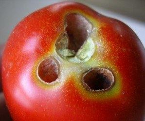 Orificios característicos derivados de los hábitos alimenticios de Helicoverpa