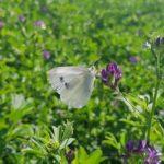 Mariposa de la Col: Trampas y remedios ecológicos
