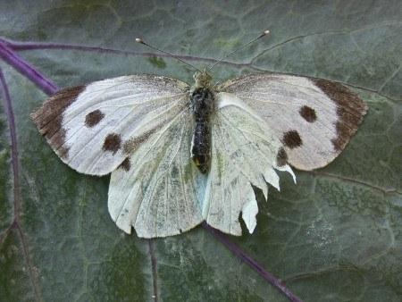 Aquí tenéis el aspecto de la mariposa de la col. Fuente: www.huertofamiliar.wordpress.com