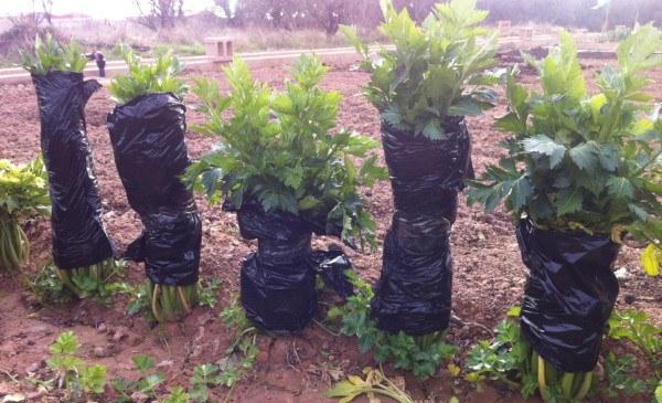 cómo cultivar apio en el huerto