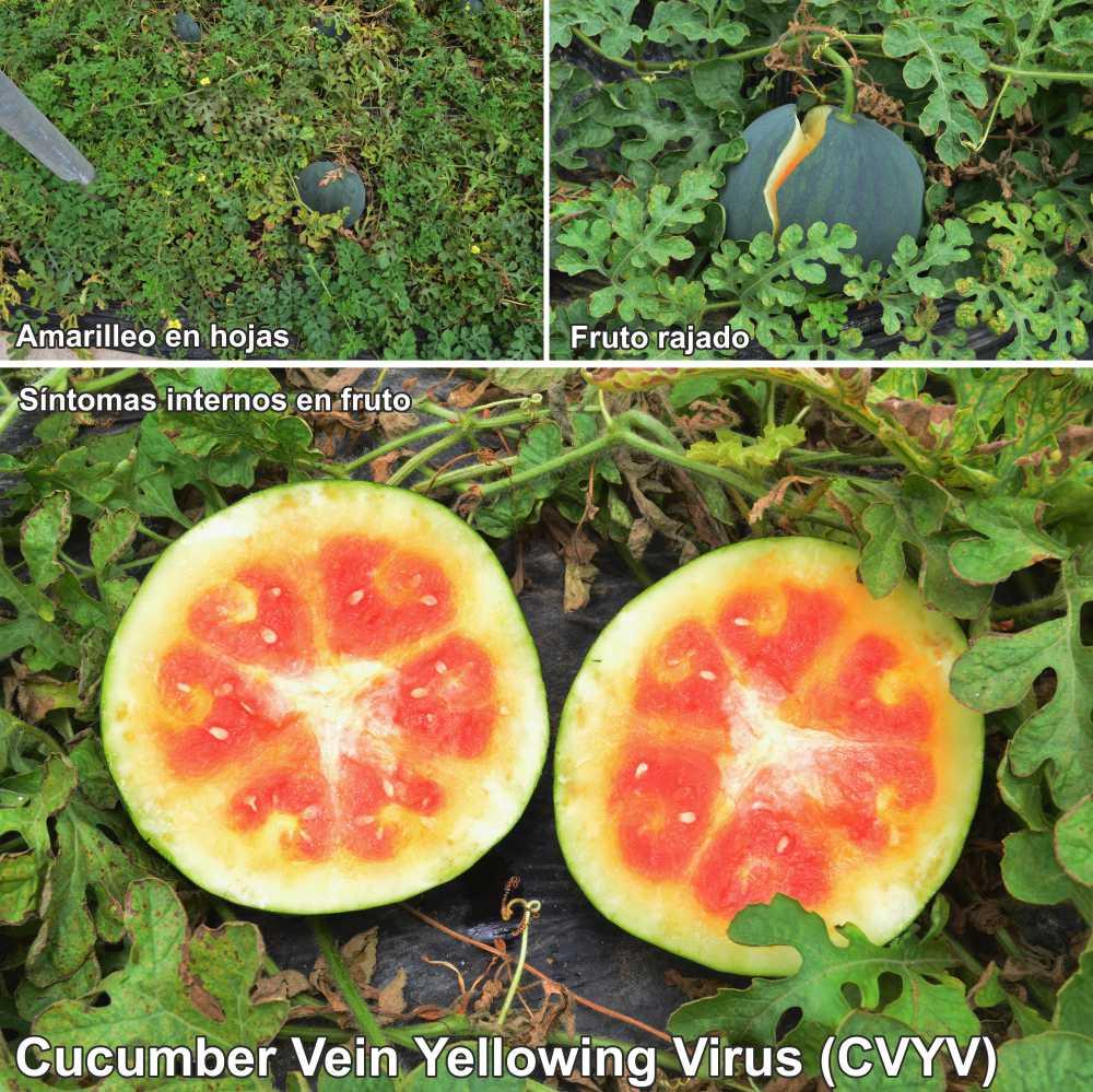 Síntomas producidos por el virus CVYV en sandía (Fuente: www.elhicino-adra.blogspot.com)