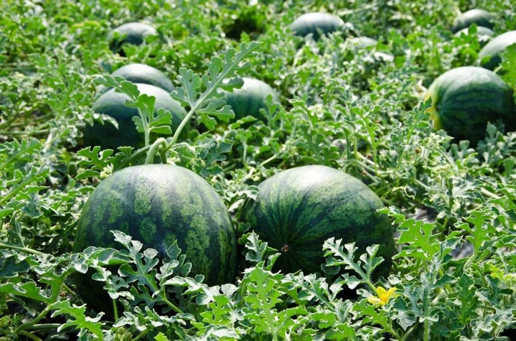 Cultivo de sandía (Fuente: www.sandíassinpepitas.es)