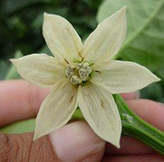 Frankiniella occidentales en flor de pimiento (Fuente: www3.syngenta.com)