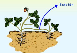 Las plantas de fresa se multiplican por estolones (Fuente: www.franciscojavier92.blogspot.com)