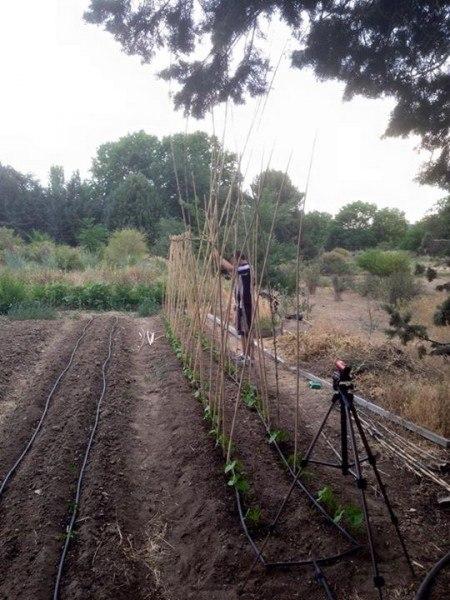 Aquí me veis montando un cañizo en el huerto de agrofogones. Algo que por ejemplo nunca hice en mi huerta.