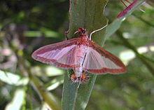 Aquí observamos el aspecto de la Diaphania hyalinata o mosca de las cucurbitáceas.