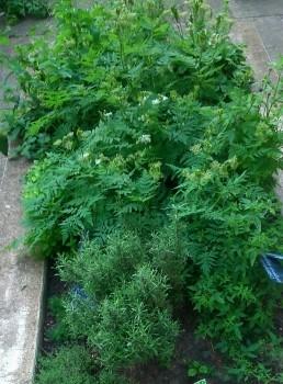 Aromáticas en el huerto