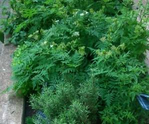 Plantas aromáticas en el huerto