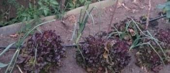 Asociaciones de cultivos buenas y malas en el huerto Asociaciones de cultivos favorables