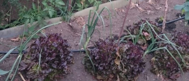 Asociación de cultivos: cebolla y lechuga