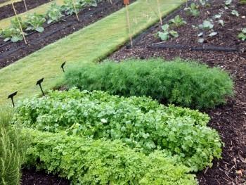 Cultivos de perejil y eneldo, plantas fáciles de cultivar para principiantes