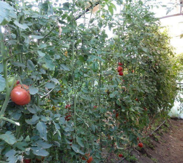 Tomates ecológicos en invernadero