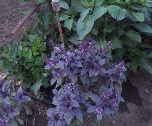 cultivar albahaca en el huerto medicinal