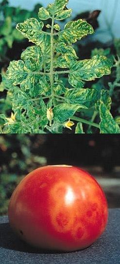 Síntomas del Virus Mosaico del Tomate