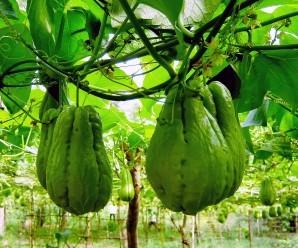 Cómo cultivar CHAYOTE en el huerto ecológico