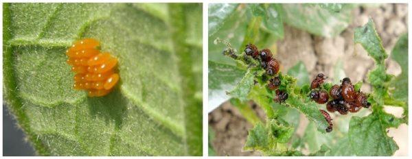 insectos comunes en el huerto y jardín: escarabajos