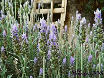 Aromáticas en el huerto: Lavanda