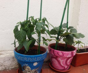 Entutorado de Plantas en Maceta. Macetohuerto
