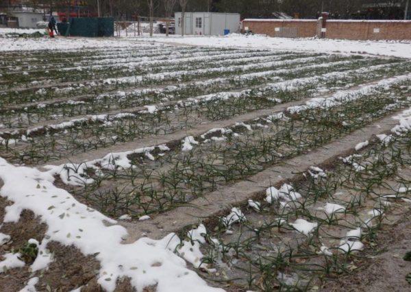 el ajo, un cultivo de invierno para el huerto