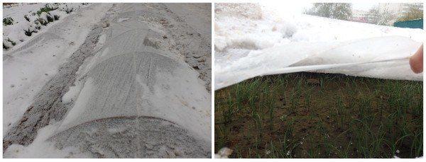 túneles de plástico: métodos para cultivar en Invierno