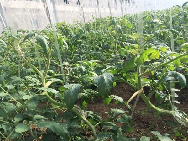 Tutorado para planta de tomate en invernadero chino
