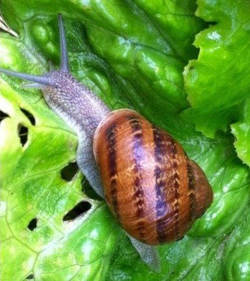 Las plagas de la lechuga: caracoles