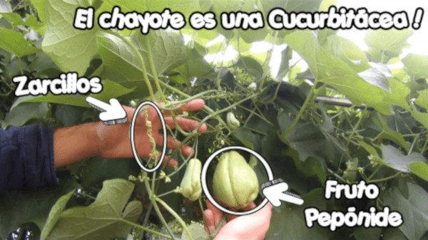 Cómo cultivar Chayote